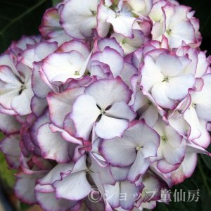 画像1: お庭のあじさい苗 【HBAアデュラパープル】5号