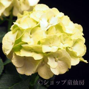 画像2: お庭のあじさい苗 【HBAカイピリーニャ】5号