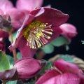 クリスマスローズ Ice N' roses 氷の薔薇レッド7号