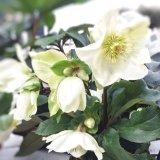 クリスマスローズ Ice N' roses 氷の薔薇ホワイト5号