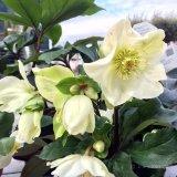 【期間限定春苗】クリスマスローズ Ice N' roses 氷の薔薇ホワイト6号