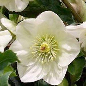 画像2: 【開花終了株】クリスマスローズ Ice N' roses 氷の薔薇ホワイトCRAFTED7号