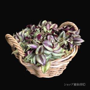 画像2: トラディスカンティア・【プラチナエレガンス】ラタンローハンドルS
