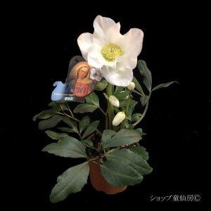 """画像2: クリスマスローズ F1""""GMマリア3.5号"""