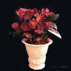 参考画像1: クリスマスローズ Ice N' roses 氷の薔薇アーリーレッド4.5号
