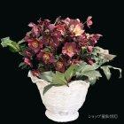 参考画像1: 【品種おまかせ】クリスマスローズ Ice N' roses 氷の薔薇 7号