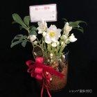 参考画像3: クリスマスローズ Ice N' roses 氷の薔薇アーリーローズ5号