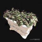 参考画像2: トラディスカンティア・【プラチナエレガンス】綱木紋籠