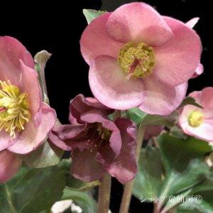 画像2: クリスマスローズ Ice N' roses 氷の薔薇アーリーローズ4.5号