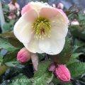 クリスマスローズ Ice N' roses 氷の薔薇ビアンコ5号