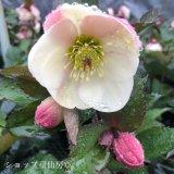 クリスマスローズ Ice N' roses 氷の薔薇ビアンコ6号