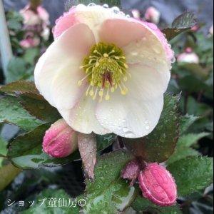 画像1: クリスマスローズ Ice N' roses 氷の薔薇ビアンコ5号