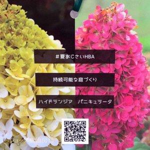 画像2: 庭のあじさい苗 【HBAパニキュラータ】パンドラ4.5号