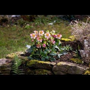 画像3: クリスマスローズ Ice N' roses 氷の薔薇イタリアーノ・カルロッタ6号