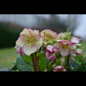 画像1: クリスマスローズ Ice N' roses 氷の薔薇イタリアーノ・カルロッタ6号