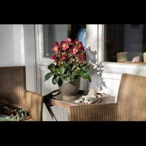 画像2: クリスマスローズ Ice N' roses 氷の薔薇イタリアーノ・ベノッタ6号